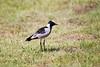 BlackSmithLapwing JoBerg_14-02-28__O6B9973