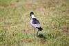 BlackSmithLapwing JoBerg_14-02-28__O6B9972