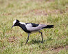 BlackSmithLapwing JoBerg_14-02-28__O6B9970
