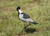 BlackSmithLapwing JoBerg_14-02-28__O6B9967