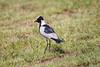 BlackSmithLapwing JoBerg_14-02-28__O6B9969