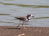 Collared Plover_07-08-16_0005