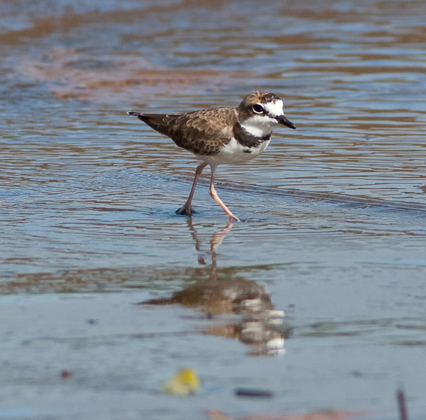 Collared Plover_07-08-16_0002
