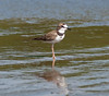 Collared Plover_07-08-16_0003