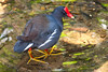 Common Moorhen BrdPrk_06-08-12_0010