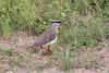 CrownedPlover Kruger_14-03-01__O6B0137