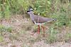 CrownedPlover Kruger_14-03-01__O6B0134