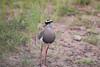 CrownedPlover Kruger_14-03-01__O6B0128