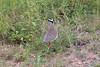 CrownedPlover Kruger_14-03-01__O6B0138