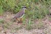 CrownedPlover Kruger_14-03-01__O6B0136