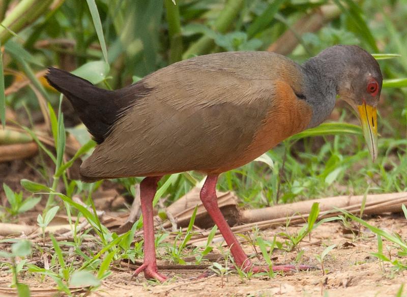 GreyNecWdRail Pantanal_7I2B8795_10-09-24