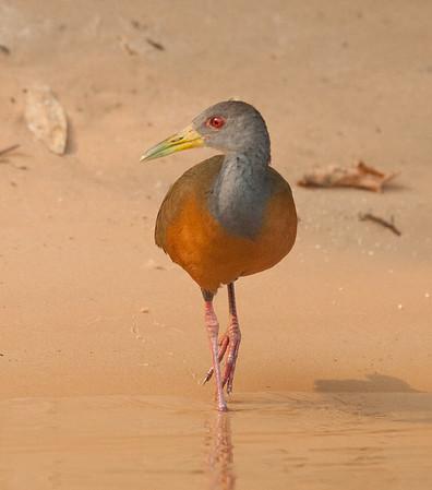 GrayNeckWldRail Pantanal_7I2B8875_10-09-24