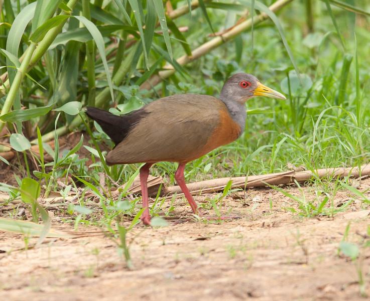 GreyNecWdRail Pantanal_7I2B8794_10-09-24