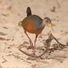 GrayNeckWldRail Pantanal_7I2B8871_10-09-24