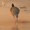 GrayNeckWldRail Pantanal_7I2B8876_10-09-24