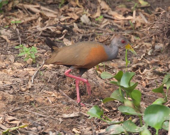 GNwoodRail Pantanal_7I2B8721_10-09-24