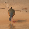 GrayNeckWldRail Pantanal_7I2B8879_10-09-24
