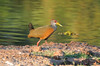 Grey-necked wood-rail (1)_159_08-05-05