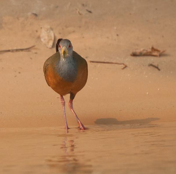 GrayNeckWldRail Pantanal_7I2B8880_10-09-24