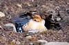 killdeer_08-06-29_08-06-29_Birds Hyw Kulane Lake_0026