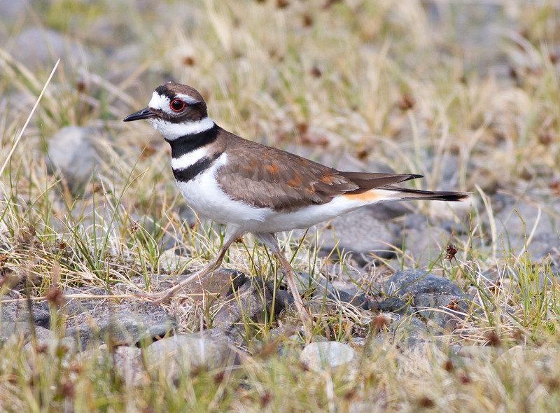 killdeer_08-06-29_08-06-29_Birds Hyw Kulane Lake_0004