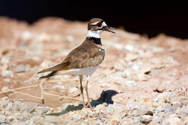 Killdeer_SaltonSea_08-03-25-0007