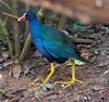 Purple Gallinule BrdPrk_06-08-12_0002