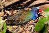 Purple Gallinule BrdPrk_06-08-12_0006