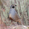 California Quail, male sentry