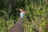 HelmetedGuineaFowl Kirkman_14-03-16__O6B2713