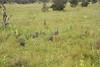 GuineaFowl Kirkman_14-03-18_IMG_6898