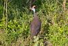 HelmetedGuineaFowl Kirkman_14-03-16__O6B2714