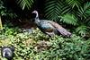 OcellatedTurkey Tikal_16-02-08_3V7A6805