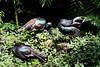 OcellatedTurkey Tikal_16-02-08_3V7A6799
