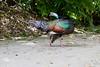 OcellatedTurkey Tikal_16-02-08_3V7A6772