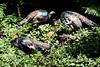 OcellatedTurkey Tikal_16-02-08_3V7A6798