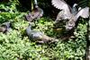 OcellatedTurkey Tikal_16-02-08_3V7A6792