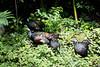 OcellatedTurkey Tikal_16-02-08_3V7A6803