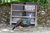 OcellatedTurkey Tikal_16-02-08_3V7A6765