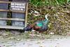 OcellatedTurkey Tikal_16-02-08_3V7A6767