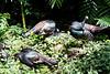 OcellatedTurkey Tikal_16-02-08_3V7A6800