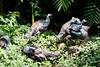 OcellatedTurkey Tikal_16-02-08_3V7A6794