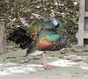 OcellatedTurkey Tikal_16-02-08_3V7A6760