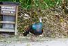OcellatedTurkey Tikal_16-02-08_3V7A6768