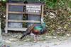 OcellatedTurkey Tikal_16-02-08_3V7A6766