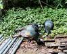 OcellatedTurkey Tikal_16-02-08_3V7A6785