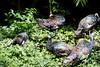 OcellatedTurkey Tikal_16-02-08_3V7A6791