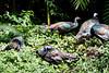 OcellatedTurkey Tikal_16-02-08_3V7A6795