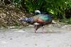 OcellatedTurkey Tikal_16-02-08_3V7A6773