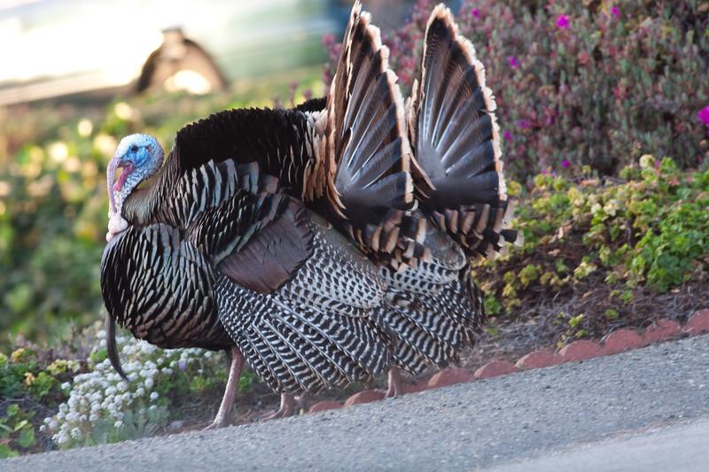 turkeys (5)